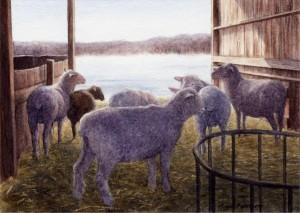 Sheep at Beaverbrook Farm